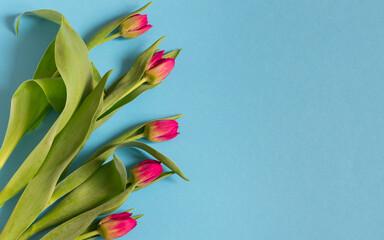 Obraz Różowe tulipany na niebieskim tle - fototapety do salonu