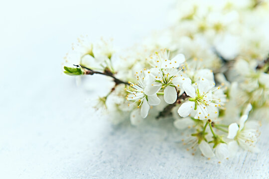 Beautiful white Plum Blossom on painted wooden background