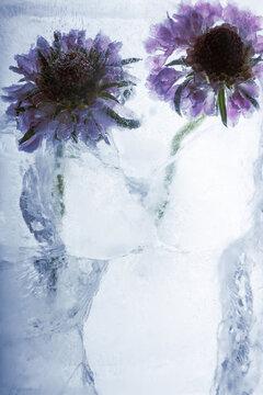 2 Blumen in kristallklarem Eis