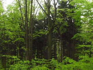 Zielony las jesienią, Karkonosze, Polska