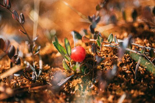 Wild cranberries closeup, Belarus nature