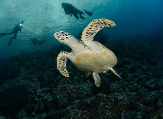 sea turtle with divers in the ocean
