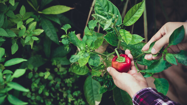 Woman hand picking ripe small red bell pepper in organic vegetable garden