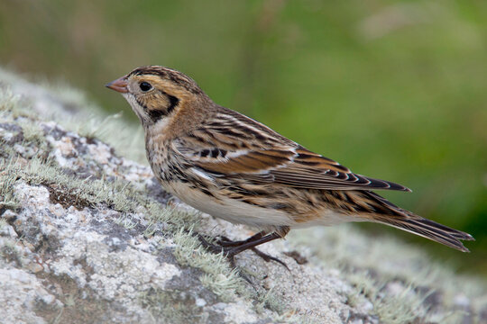 Lapland Bunting, (Calcarius lapponicus) in winter plumage, on a rock, St. Mary's, Scilly Is., Cornwall, UK.