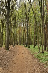 Fototapeta A forest path among trees greening in spring