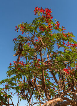 Mimosa tree with red flowers in Namibia, Africa
