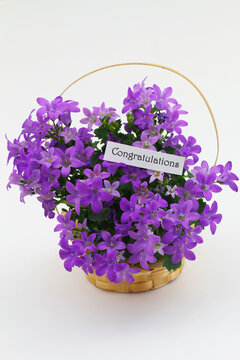 Congratulations card with purple Campanula flowers in miniature wicker basket on white background