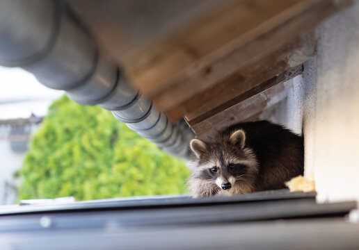 Frightened raccoon sits on a shed roof in broad daylight