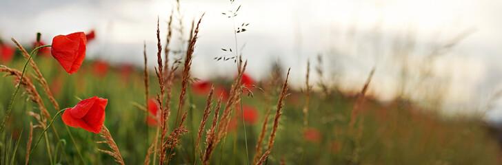 Obraz Wild red poppy flowers wide panorama, blurred overcast sky background - fototapety do salonu