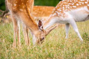 Sarny i jelenie na łące.