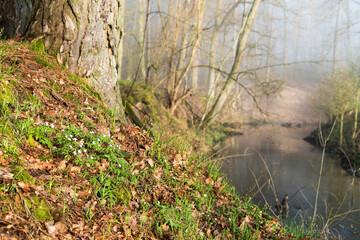 zawilce na brzegu rzeki