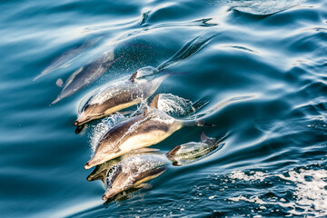 Dolphin Pod Breaking The Surface