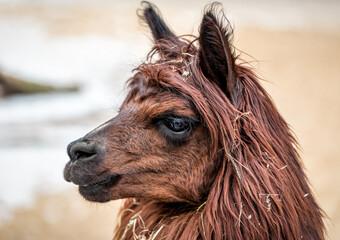 brown lama portrait