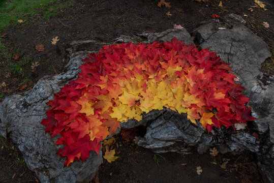 Sugar maple decoration in the fall outside in a park, seasonal concept