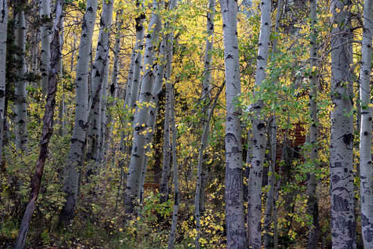 Cluster of aspen trees in the fall in the Sierra Nevada of California, USA, with a  hint of cabins in the background