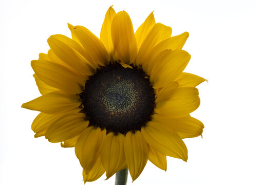 Sunflower on white background, close-up and isolated