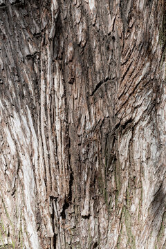 Wood texture and background of a Montezuma cypress tree, a coniferous tree, background or backdrop