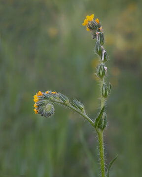 Portrait of a Fiddleneck, Amsinckia intermedia, flower with spiral arrangement resembling the neck of a fiddle, California, USA, close-up, yellow