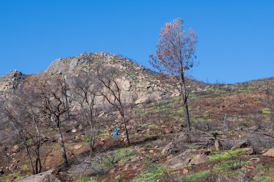 Trail through the past, Stebbins Cold Canyon preserve, a university of California off-campus site, after two fires in previous years, taken in 2021