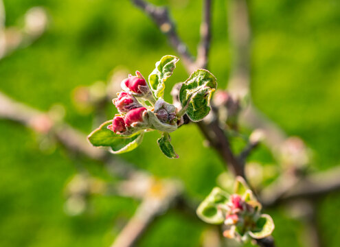 Apfelbaumblüte blüht Rosa im Frühling