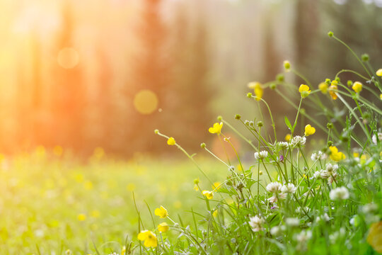 Spring background. Sunny meadow blurred background with wildflowers, grasses and green fresh grass. Spring, nature, summer and sun concept