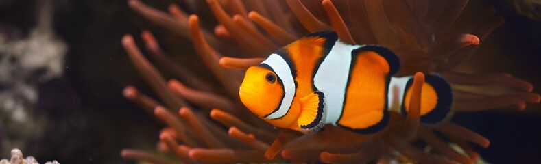 Fototapeta Amphiprion Ocellaris clownfish In marine aquarium. Orange corals in the background. Colorful pattern, texture, wallpaper, panoramic underwater view. Zoology, biology, science, education, zoo