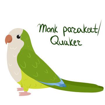 Monk parakeet or Quaker parrot in cartoon style on white background. Vector hand drawn illustration. Myiopsitta monachus
