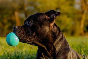 Fototapeta pies z piłka