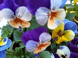 Obraz Bratek - wiosenny kwiat. - fototapety do salonu