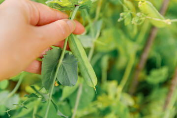 Fototapeta Gardening and agriculture concept. Female farm worker hand harvesting green fresh ripe organic peas on branch in garden. Vegan vegetarian home grown food production. Woman picking pea pods. obraz