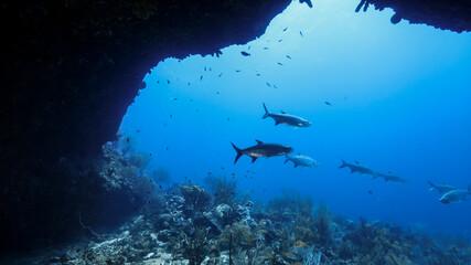 School of Tarpon in coral reef of Caribbean Sea, Curacao