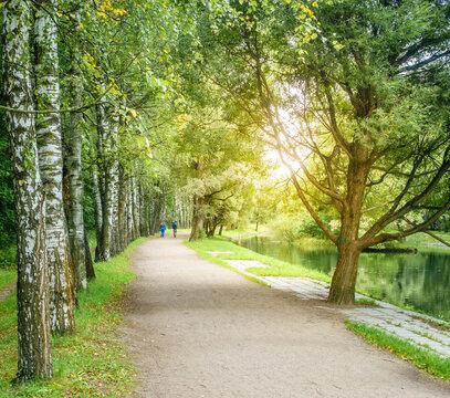 Birch alley in a park