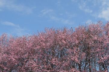 Wiosenne drzewa kwitnące na różowe na tle błękitu nieba, Polska