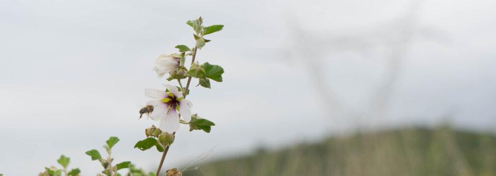 Malva Subovata. Malvaceae. Valencia.