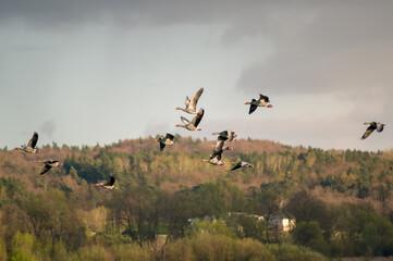 Fototapeta Lecące stado kaczek na tle zachmurzonego nieba