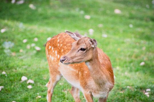 A fallow deer in the meadow