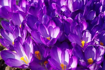 close up of purple spring crocus flowers