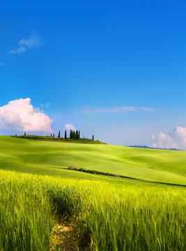 art beautiful springtime rural landscape. wheat spring field and blue sky horizon