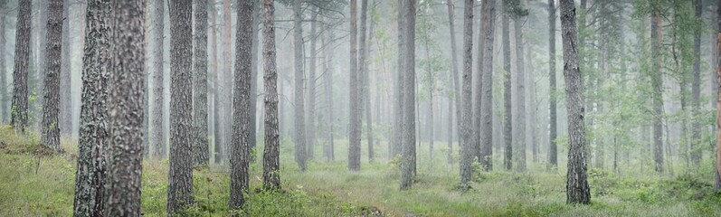 A dirt road (pathway) through the tall ancient pine trees in a fog. Rainy day in the dark evergreen forest. Early summer in Latvia. Atmospheric landscape