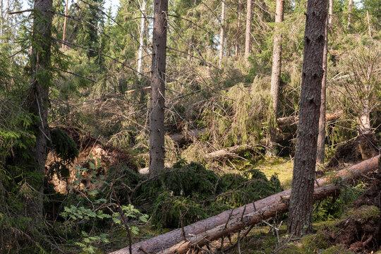 windbreak in the forest