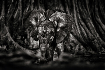 Fototapeta Young pup Elephant at Mana Pools NP, Zimbabwe in Africa. Big animal in the old forest, evening light, sun set. Magic wildlife scene in nature. African baby elephant in beautiful habitat.