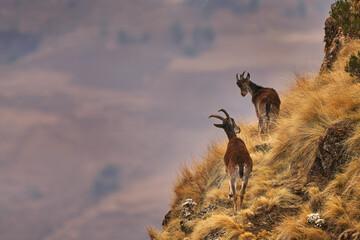 Fototapeta Walia ibex, Capra walie, rare endemic mountain animal in the nature habitat, Siminen Mountains NP, Ethiopia in Africa. Ibex are members of the goat famil obraz