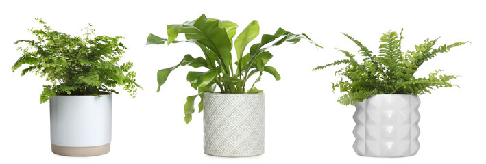 Set with beautiful ferns in pots on white background. Banner design