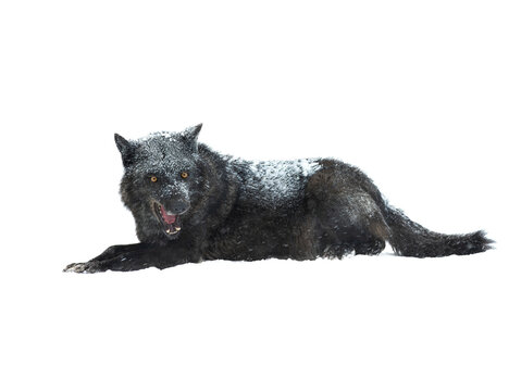 angry canadian wolf with open mouth isolated on white background