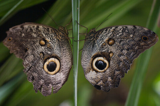 Two butterflies, called owl eye butterflies rest on a branch in Mindo, Ecuador