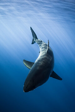 Mexico, Baja California. A great white shark swimming with beautiful sunrays above him at Guadalupe Island.