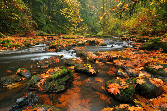 Fallen big leaf maple leaves litter the forest floor in Washington State's Columbia River Gorge.