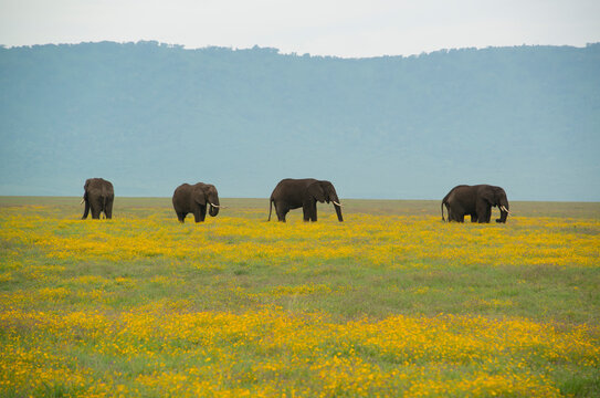 A herd of elephants surrounded by wildflowers at the Ngorongoro Crater in Tanzania