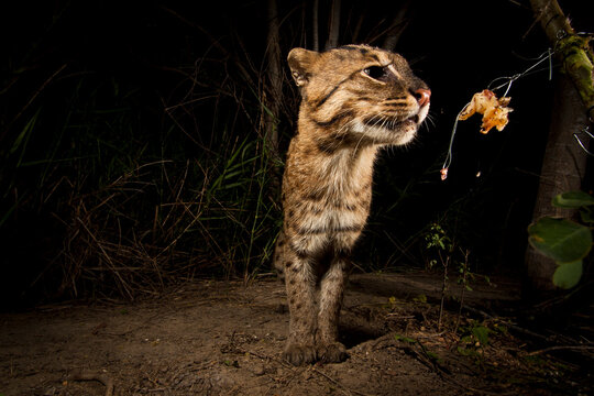 Rip Ear, a wild male fishing cat (Prion Ailurus viverrinus), triggers a camera trap hidden on a fish farm in Sam Roi Yod, Thailand. This endangered and elusive cat has rarely been photographed in the wild. Scientists estimate fewer than000 remain scattered around Thailand, Bangladesh, India and a handful of other countries. A few years ago, researcher Passanan Namfon Cutter discovered a new and rather robust population of fishing cats living intertwined with a fishing village in southeast Thailand. As part of her research, Cutter photographs fishing cats using simple camera traps and bait in the form of raw chicken bought from the grocery store. I worked under the guidance of Cutter and her assistants, using the same bait to get this image. The cats are already living in an impacted environment, finding their food from a variety of human and natural sources. I used a DSLR camera trap with Trail Master infrared trigger, three flashes, the handyman skills of Ruj the research assistant and scouting skills of Lung Oeow a fish farmer to get the shot. Fishing cats are under pressure from extreme habitat loss, especially from shrimp farming, and revenge killing. While we were there, Rip Ear showed up with a new scar across his eye. It's possible he is battling another male (also spotted in the area) as the land around him becomes more developed. During my time there, we saw his home almost entirely converted into a new shrimp farm. We were lucky though. Even with the development, Rip Ear paid our camera a visit towards the end of a 7-week expedition, as if to say he will keep surviving amidst the change, so long as a little room is left for him to roam. As an aside, we found out that the land around Rip Ear's home is available to rent for an astoundingly small sum by U.S. standards, about $1,700 for the year. Before leaving Thailand, some of our images along with the initiative of The WILD Foundation raised enough money to rent fishing cat habitat in the area for on