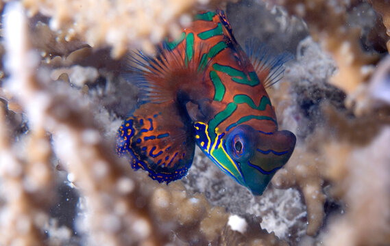 A mandarin fish in Solomon Islands.